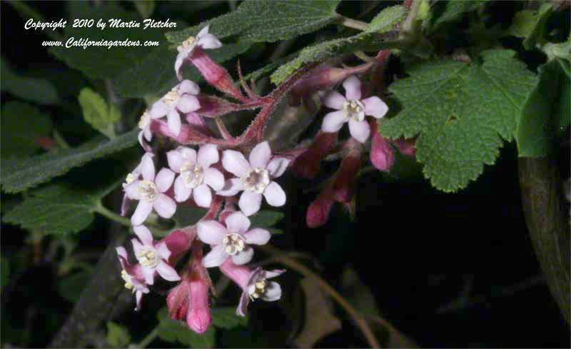 Ribes malvaceum, Chaparral Currant