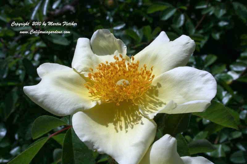 Cherokee rose rosa laevigata california gardens for Cherokee rose