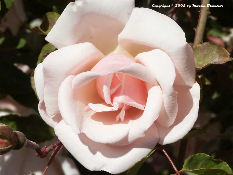 Image of the Belle of Portugal Rose, Belle Portugaise