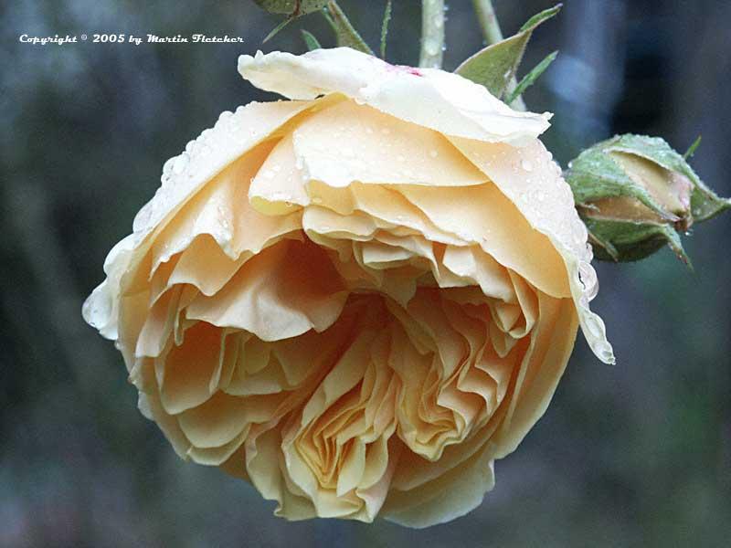 graham thomas rose david austin rose california gardens. Black Bedroom Furniture Sets. Home Design Ideas