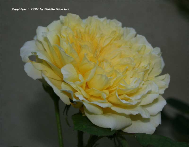 the pilgrim rose david austin rose california gardens. Black Bedroom Furniture Sets. Home Design Ideas