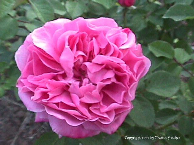 mary rose david austin rose california gardens. Black Bedroom Furniture Sets. Home Design Ideas