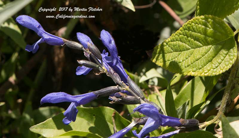 Salvia Costa Rica Blue