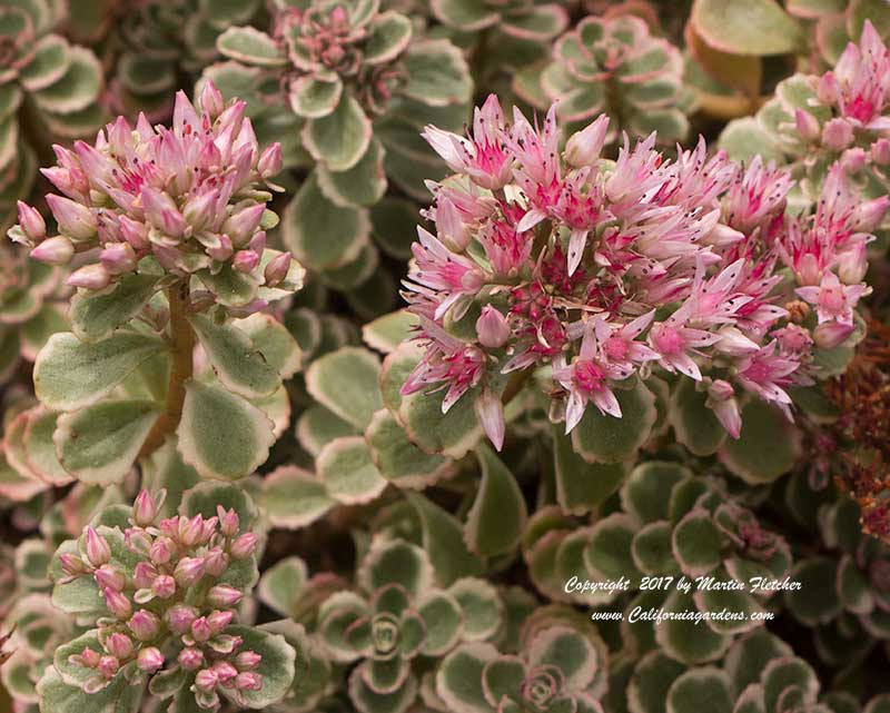 Sedum spurium Tricolor, Two Row Stonecrop, Variegated Stonecrop