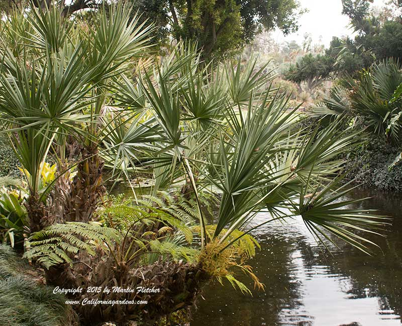 Serenoa repens, Saw Palmetto