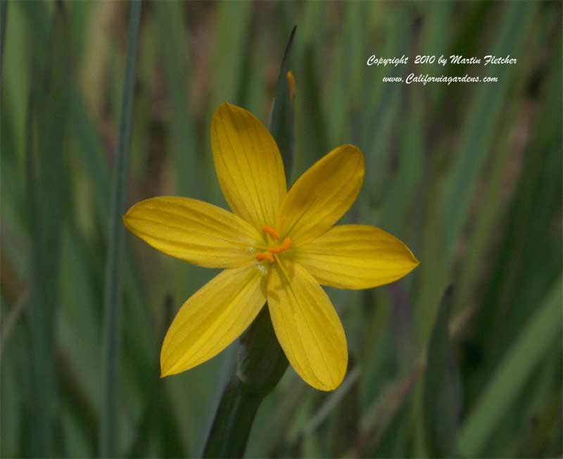 Sisyrinchium californicum, Yellow Eyed Grass