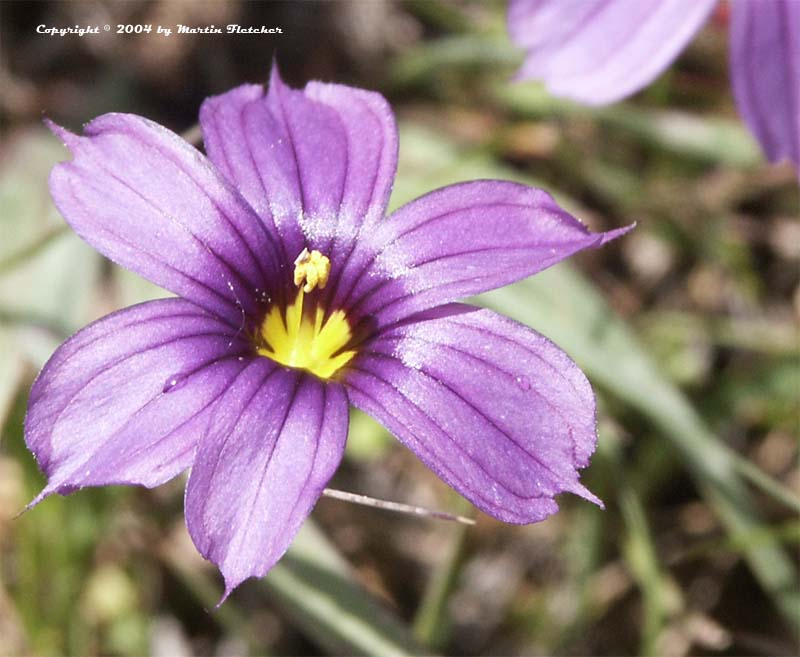 Sisyrinchium bellum, Blue Eyed Grass