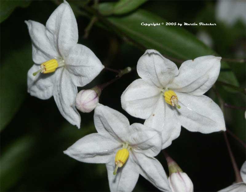 California Gardens - Solanum jasminoides - Potato Vine