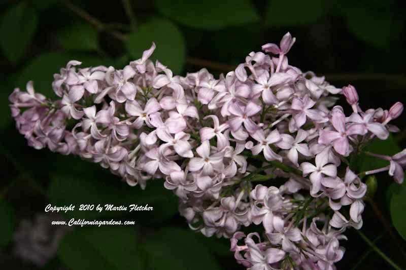 Syringa California Rose, Lilac