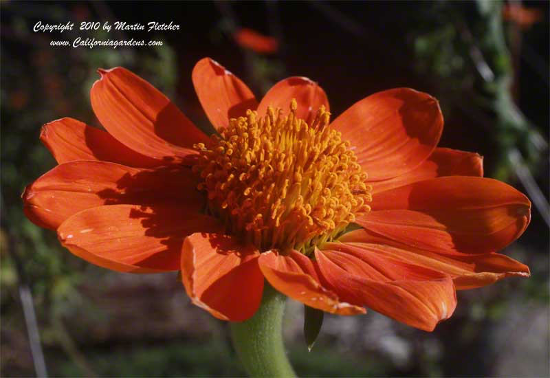 Tithonia rotundifolia, Mexican Sunflower