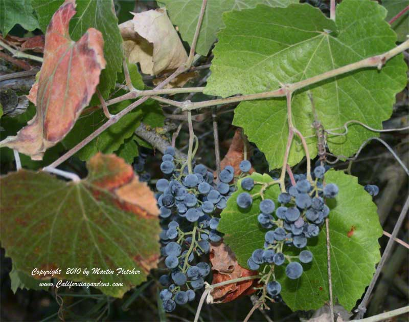 Vitis californica, California Wild Grape