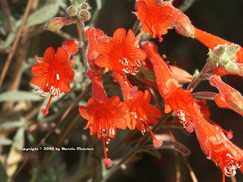 گل و گیاهان زینتی گل گل آویز كالیفرنیا Zauschneria californica