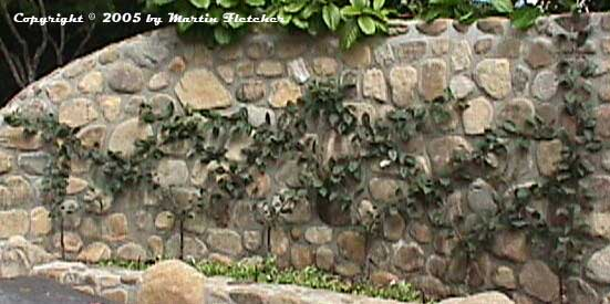 Photos and sketches of espalier trees