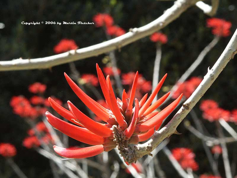 Erythrina coralloides, Naked Coral Tree